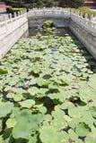 Китайский пруд лилии Стоковая Фотография