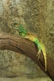 Китайский дракон воды (cocincinus), тайская вода Drago Physignathus Стоковые Изображения RF