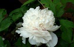 Китайский цветк-пион Стоковая Фотография