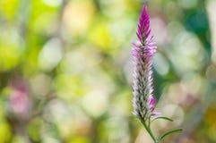 Китайский цветок шерстей: Розовое Cockscomb стоковое изображение rf