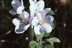 Китайский цветя зацветать краб-яблока фото Стоковое Изображение