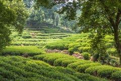 китайский чай плантации Стоковое Изображение RF