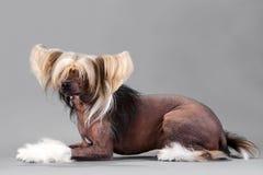 китайский crested мужчина собаки Стоковые Фото