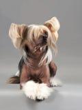 китайский crested мужчина собаки Стоковое Изображение RF