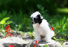 Китайский Crested сидит на утесе Пушистый белый щенок на предпосылке зеленой травы и цветков Стоковое Изображение