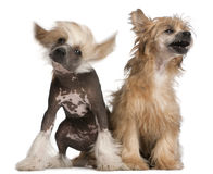 китайский crested щенок собаки Стоковая Фотография RF