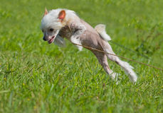 китайский crested щенок собаки Стоковое Фото