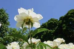Китайский herbaceous пион Стоковое фото RF