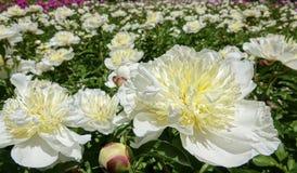 Китайский herbaceous пион Стоковые Фотографии RF
