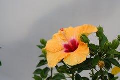 китайский hibiscus Стоковые Изображения
