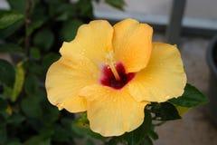 китайский hibiscus Стоковые Фото