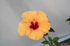китайский hibiscus Стоковые Изображения RF