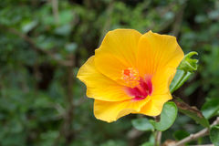 китайский hibiscus Стоковая Фотография