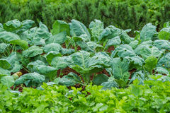 китайский kale Стоковое Фото
