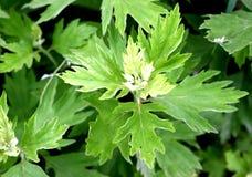 китайский mugwort листьев Стоковые Изображения RF