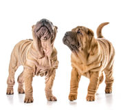 2 китайских shar щенят pei Стоковые Фотографии RF