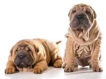 2 китайских shar щенят pei Стоковая Фотография RF