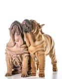 2 китайских shar щенят pei Стоковая Фотография