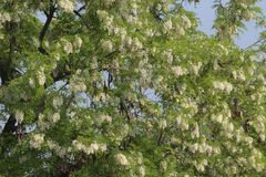 Китайское дерево ученого с цветками Стоковое Изображение RF