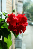 Китайское цветене роз Стоковое Изображение