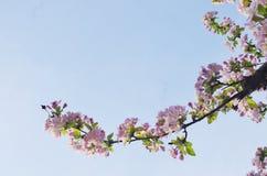 Китайское цветя crabapple Стоковое Изображение