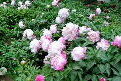 Китайское herbaceous lactiflora цветк-Paeonia пиона Стоковая Фотография RF