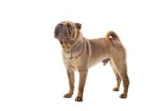 китайское pei собаки shar стоковое изображение rf