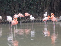 Китай, Шанхай, парк сафари города, фламинго стоковые фото