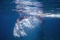 Китовая акула в голубой морской воде Крупный план китовой акулы есть поверхность воды планктона морским путем Стоковое Изображение RF