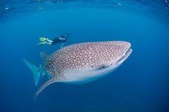 Китовая акула и водолаз стоковые фотографии rf