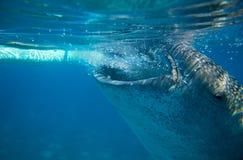 Китовая акула фото шлюпки подводным Поверхность крупного плана китовой акулы головная морским путем Стоковая Фотография RF