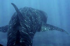 Китовая акула в голубом море Стоковые Изображения RF