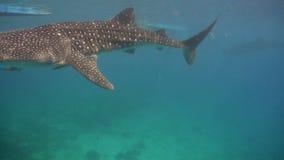 Китовая акула в океане акции видеоматериалы