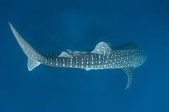 Китовая акула и Remoras Стоковая Фотография RF