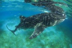 Китовая акула Стоковое Фото