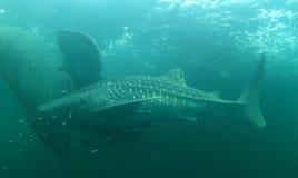 2 китовой акулы Стоковая Фотография RF