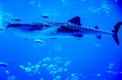 Китовые акулы плавая в аквариуме Стоковые Фотографии RF