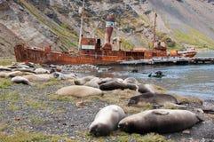 китоловство корабля уплотнения слона колонии старое Стоковое фото RF