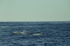 Киты в Тихом океане около Cabo San Lucas стоковое фото rf