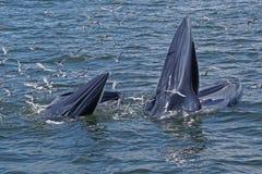 киты Стоковое Изображение RF