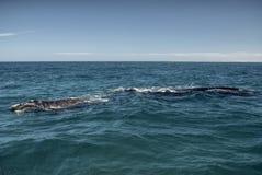 киты Стоковое Изображение