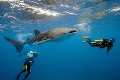 кит акулы Мальдивов водолазов Стоковое Изображение RF