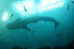 кит акулы Стоковые Фото