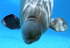 кит белуги Стоковая Фотография