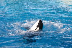 кит времени убийцы славный Стоковое фото RF