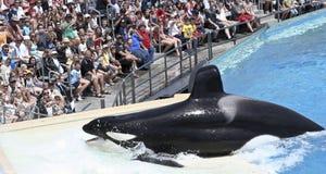 кит выставки убийцы пляжей самих Стоковое Изображение