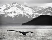 кит кабеля humpback Аляски Стоковые Фотографии RF