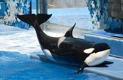кит косатки Стоковые Фото