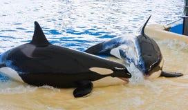 кит косатки Стоковые Фотографии RF