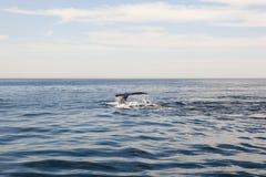кит моря подныривания трески плащи-накидк Стоковое Фото